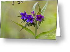 Purple Gromwell Greeting Card