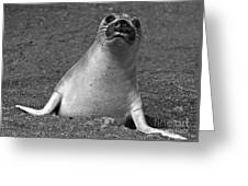 Northern Elephant Seal Weaner Greeting Card