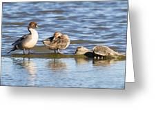 Northern Pintail Pair Greeting Card