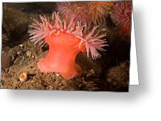 Northern Red Anemone Greeting Card