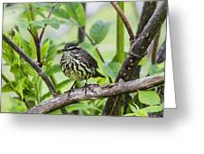 Northern Water Thrush Greeting Card