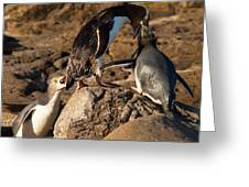 Nz Yellow-eyed Penguins Or Hoiho Feeding The Young Greeting Card