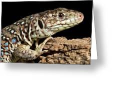Ocellated Lizard Timon Lepidus Greeting Card