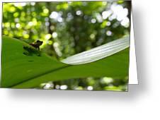 Oophaga Pumilio  Greeting Card