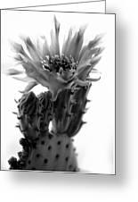 Opuntia Basilaris Cactus Greeting Card