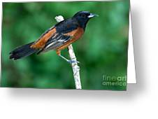 Orchard Oriole Icterus Spurius Adult Greeting Card