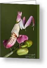Orchid Mantis Greeting Card