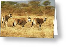 Oryx Beisa Oryx Beisa Greeting Card