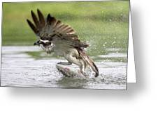 Osprey With A Living Fish, Fischadler Greeting Card