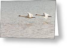 Pair Of Flying Trumpeter Swans Cygnus Buccinator Greeting Card