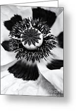 Papaver Orientale Perrys White Greeting Card