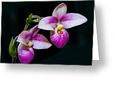 Paphiopedilum Hybrid  Greeting Card