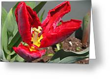 Parrot Tulip Named Rococo Greeting Card
