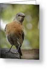 Peering Bluebird Greeting Card