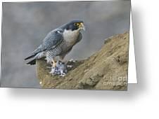 Peregrine Eating Pigeon Greeting Card