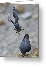 Peregrine Falcons Mating Greeting Card