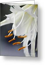 Peruvian Daffodil Named Advance Greeting Card