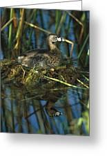 Pied-billed Grebe Nesting Texas Greeting Card