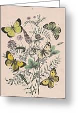 Pieridae Greeting Card
