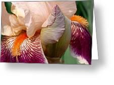 Pink And Purple Iris Greeting Card