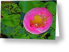 Pink Lotus In Backyard Of Home In Bangkok-thailand. Greeting Card