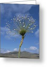Pipewort Grassland Plants Blooming Greeting Card