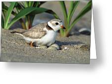 Piping Plover Charadrius Melodus Greeting Card