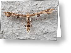 Plume Moth Greeting Card
