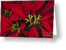 Poinsettia  - Euphorbia Pulcherrima Greeting Card