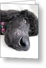 Poodle Close-ups 1 Greeting Card