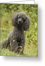 Poodle Dog Greeting Card