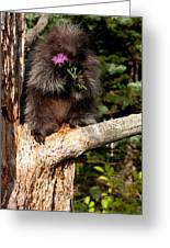 Porcupine    Hystrix Cristata  Greeting Card