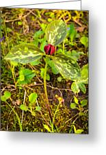 Praire Trillium Greeting Card by Thomas Pettengill