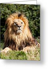 Proud Majestic Lion Greeting Card