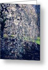 Prunus Subhirtella 'pendula' Greeting Card