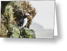 Puffins On The Islet Of Mykines, Faroe Greeting Card