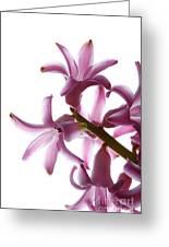 Purple Hyacinth Macro Shot. Greeting Card