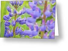 Purple Lupine Flowers Greeting Card
