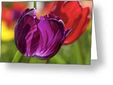 Purple Tulip Macro Greeting Card