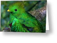 Quetzal Greeting Card