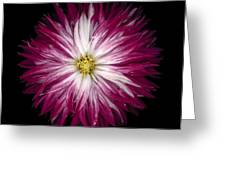Red And White Dahlia Greeting Card