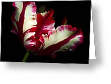 Red And White Parrot Tulip Greeting Card