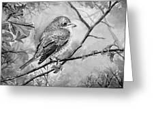 Red Backed Shrike Greeting Card