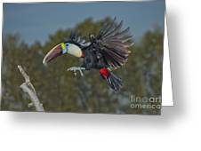 Red-billed Toucan Greeting Card