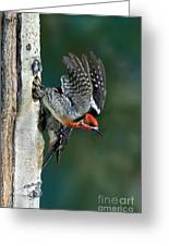 Red-breasted Sapsucker Greeting Card