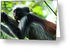 Red Colobus Monkey Greeting Card