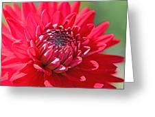Red Dahlia Flower Greeting Card