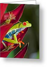 Red Eyed Tree Frog 2 Greeting Card