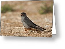Red Footed Falcon Falco Vespertinus Greeting Card