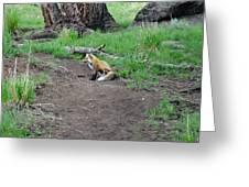 Red Fox In Yellowstone Greeting Card